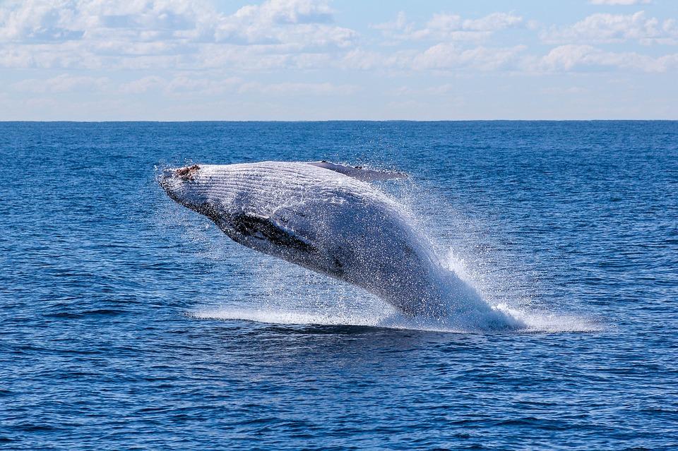 Séjour au Canada: où observer les baleines ?